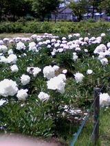 鮮やかなシャクヤクの花