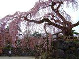 有料圏内の桜